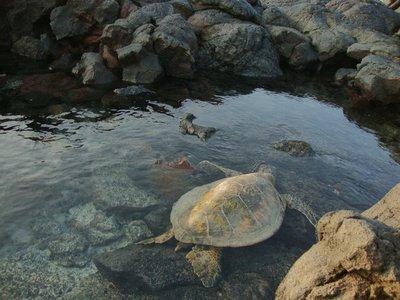 kiholo_turtle.jpg