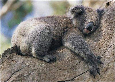 koala-picture.jpg