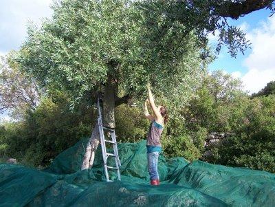 olive_harvest.jpg