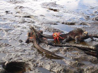 Iguana og krabbe