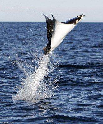 Dette er en manta ray :) (men ikke jeg som har tatt bildet)