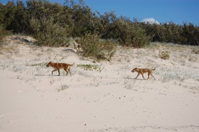 dingoes.jpg