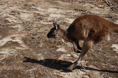 koala_walk_1.jpg