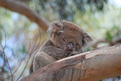 koala_walk_3.jpg