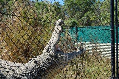 krokodille_i_gjerdet.jpg