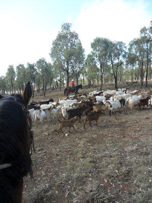 mustering_goats_1.jpg