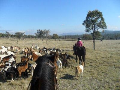 mustering_goats_2.jpg