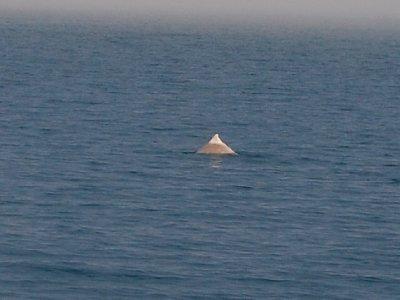 spotting_dolphin_3.jpg