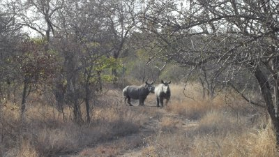 A crash of rhino