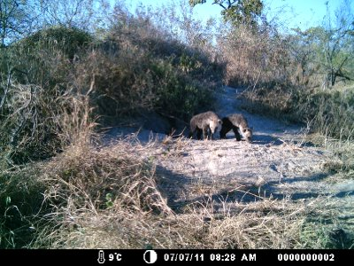 Camera trap hyena cubs