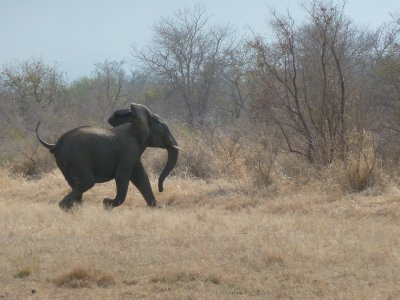 Spooked elephant