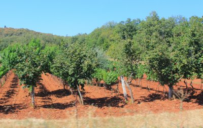 Red soil and olive trees of Istria