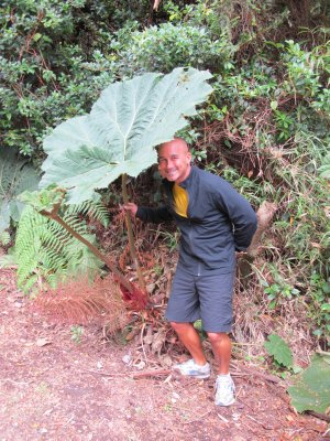 These broad-leaf plants are found all over the Volcano and are called `The Poor Man`s Umbrella`