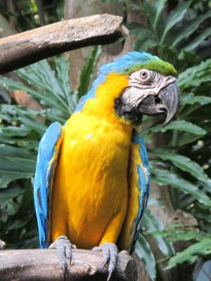 The golden Macaw