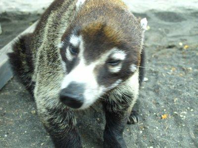 The adorable Costa Rican Pizote
