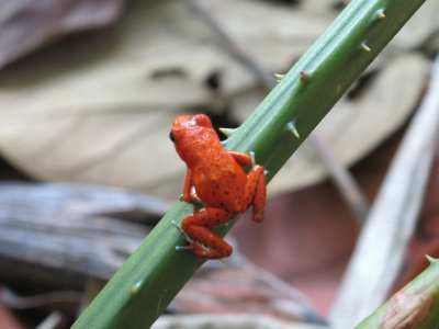 The tiny Red Poison-dart Frog