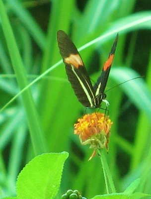 Panama is known for an abundance of colourful butterflies