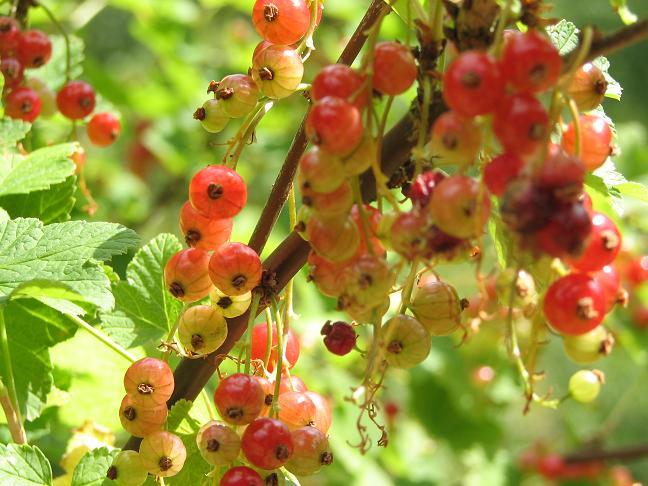 Berries on Midsummer's Eve - Gref