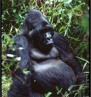 Mountain Gorilla!!