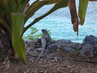 Gallows Point Resident Iguana