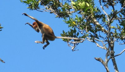 Flying Proboscis Monkey