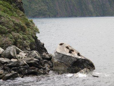 Seals- Milford Sound