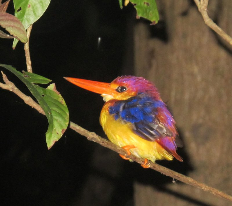 Oriental Kingfisher- so colourful- trying to get some sleep in the rain