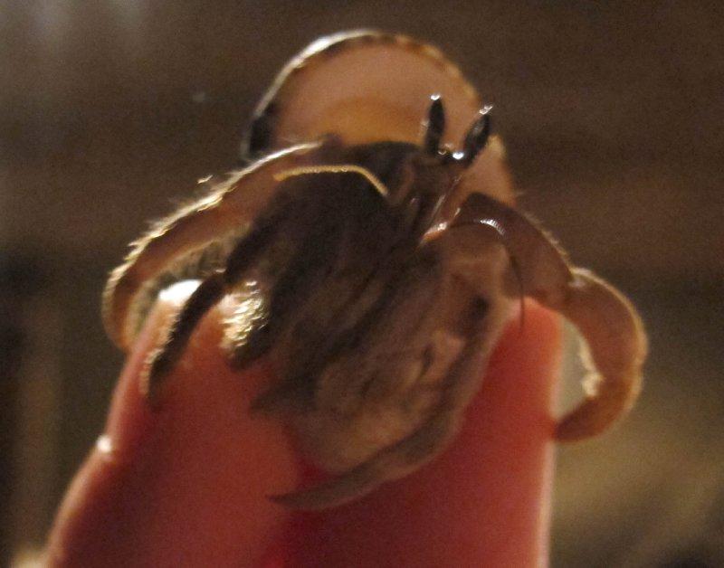 princess nipster- crab racing champion