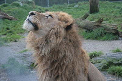 Lion Eyeing up His Lunch