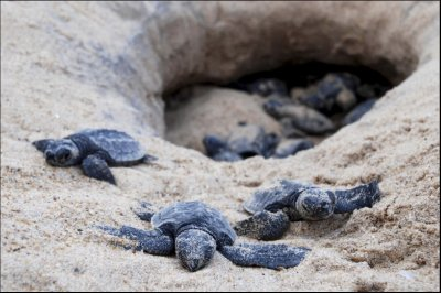 baby-turtles