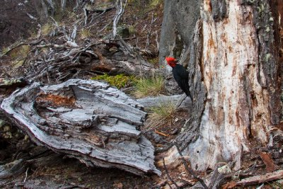 Woodpeckers on Fitz Roy trail