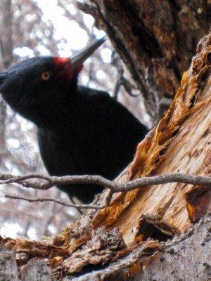 Woodpecker on Fitz Roy trail
