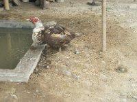 Chicken_Duck.jpg