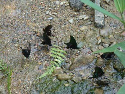 The butterfly birds