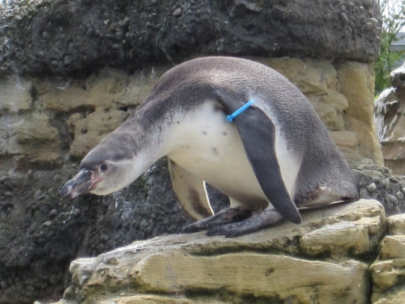 Penguin at Woodland Park Zoo, Seattle