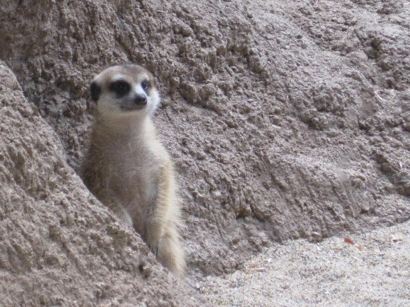 Meerkat at Woodland Park Zoo, Seattle