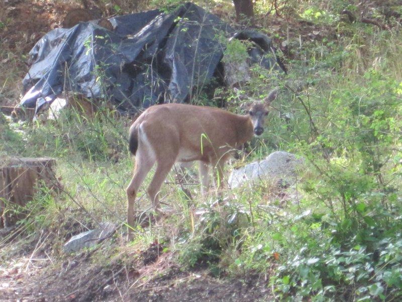 Deer, Victoria, British Columbia