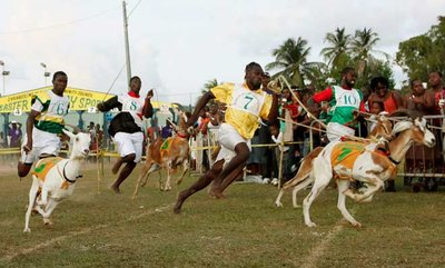Goat-Racing-Tobago
