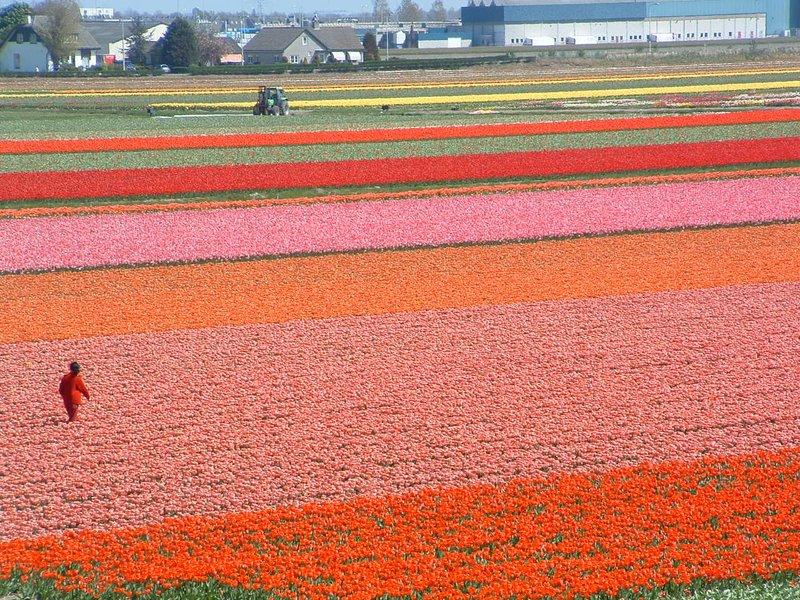Tulips of Keunkenhof