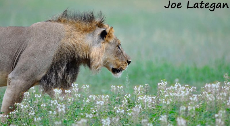 Lion stalking in desert flowers Portrait