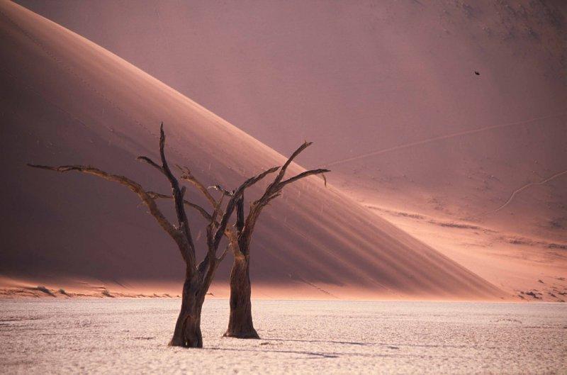 Camelthorn trees sossusvlei namibia