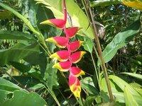 Haleconia flower