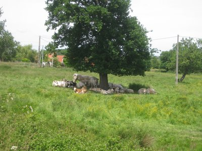 This is a Cow tree, as you can see all of the fruit has fallen