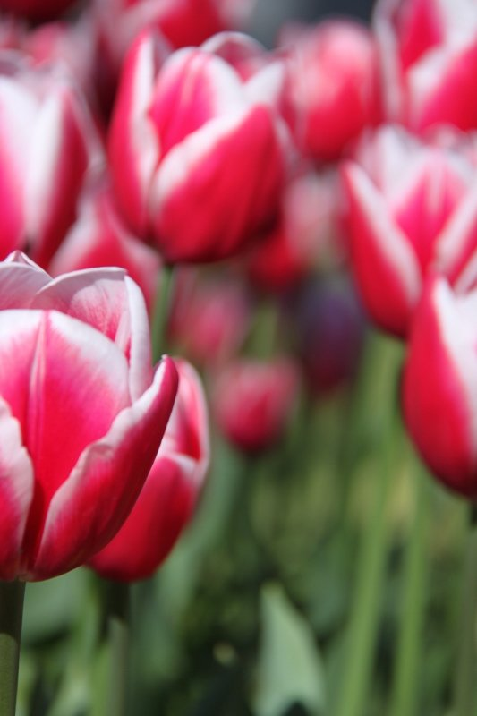 110422 Pink Tulips