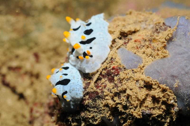 Nudibranch in Subic Bay