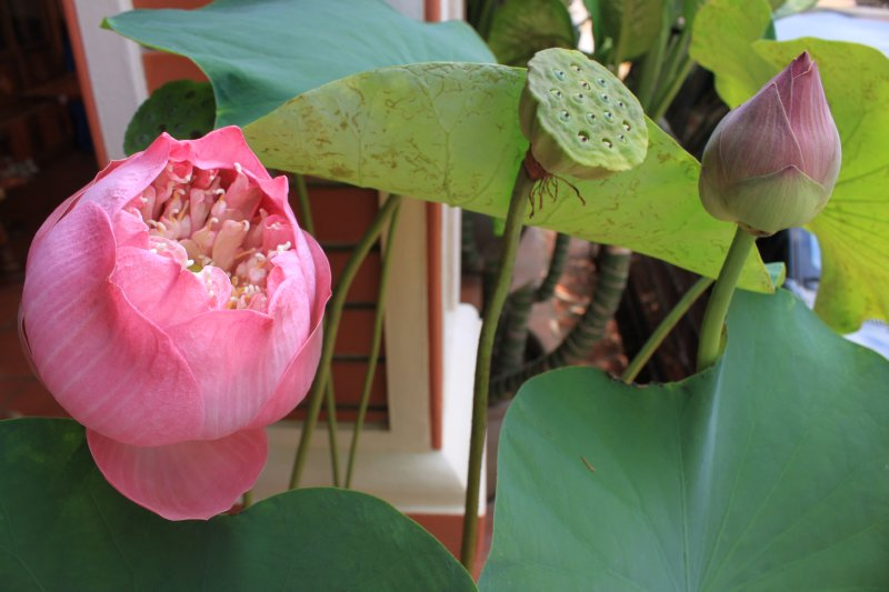 large_12_lotus_b.._flower.jpg