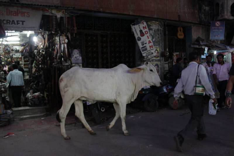 large_13_cow_in_st.jpg