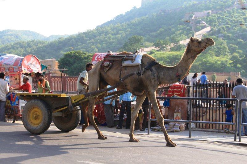 large_19_camel.jpg