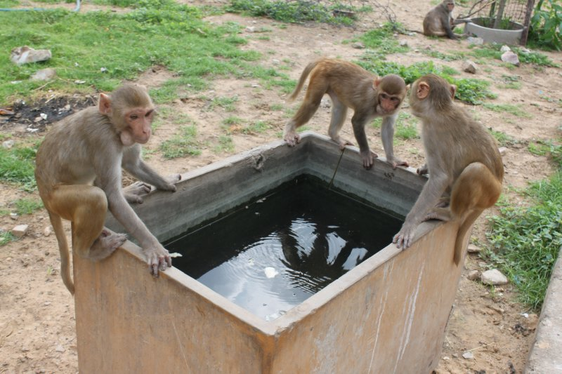 large_2_monkey_water.jpg