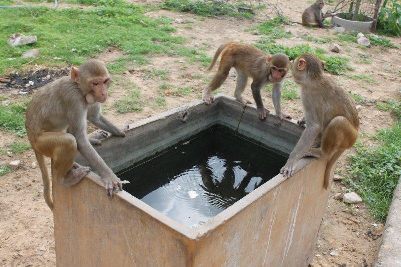 large_2_monkey_water.jpg